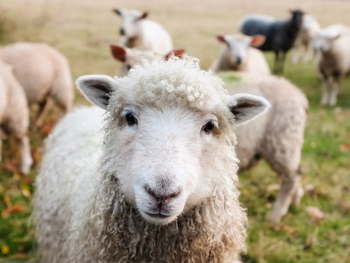 Catherine McAuley College Success at the Australian Sheep and Wool Show