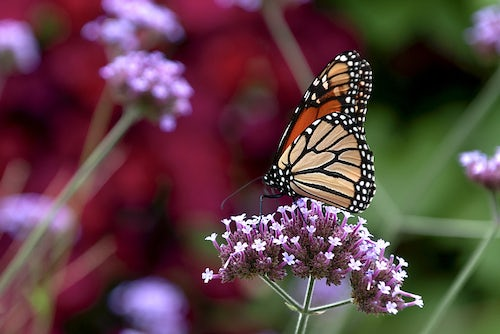 Sisters of Mercy work to Save Monarchs on University Campuses